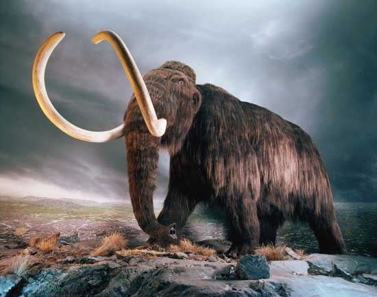 Woolly Mammoth Replica in Museum Exhibit