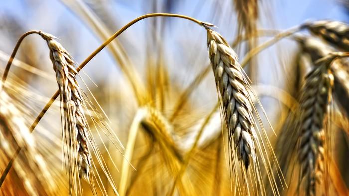 GMO_seeds