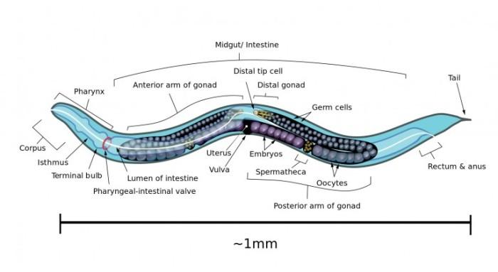 openworm-nematode-roundworm-simulation-artificial-life-0