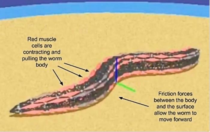 openworm-nematode-roundworm-simulation-artificial-life
