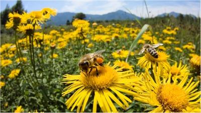 HoneyBeesOnYellowFlowers