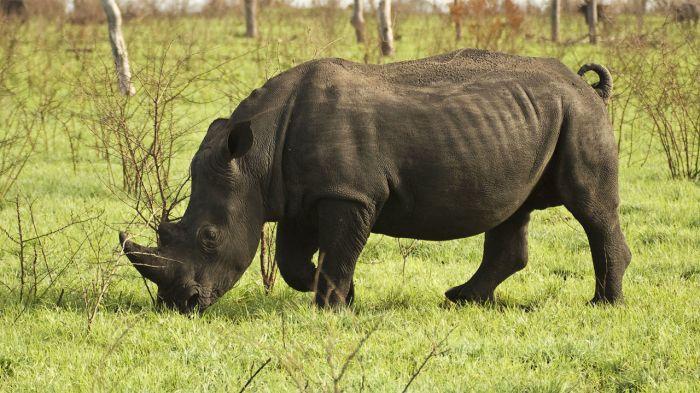 conservation_rhino