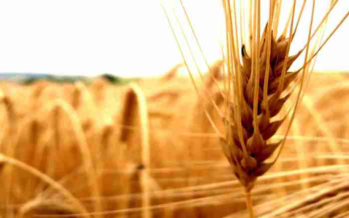 cereals-agriculture-ear